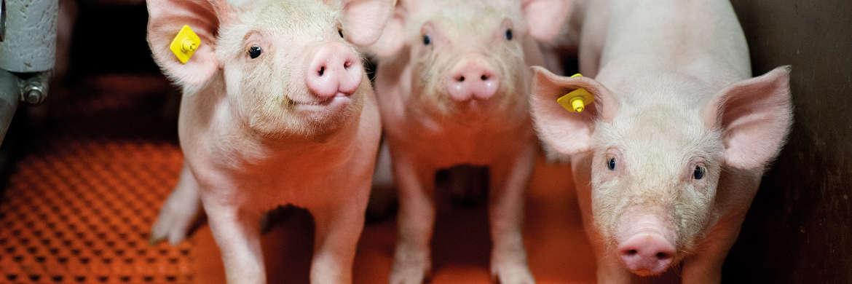 Pigdays Teaser, Header, Meta