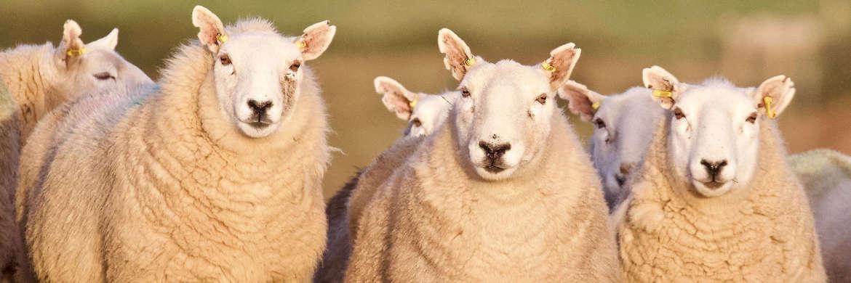 AAD Schafe Wales Studie Header