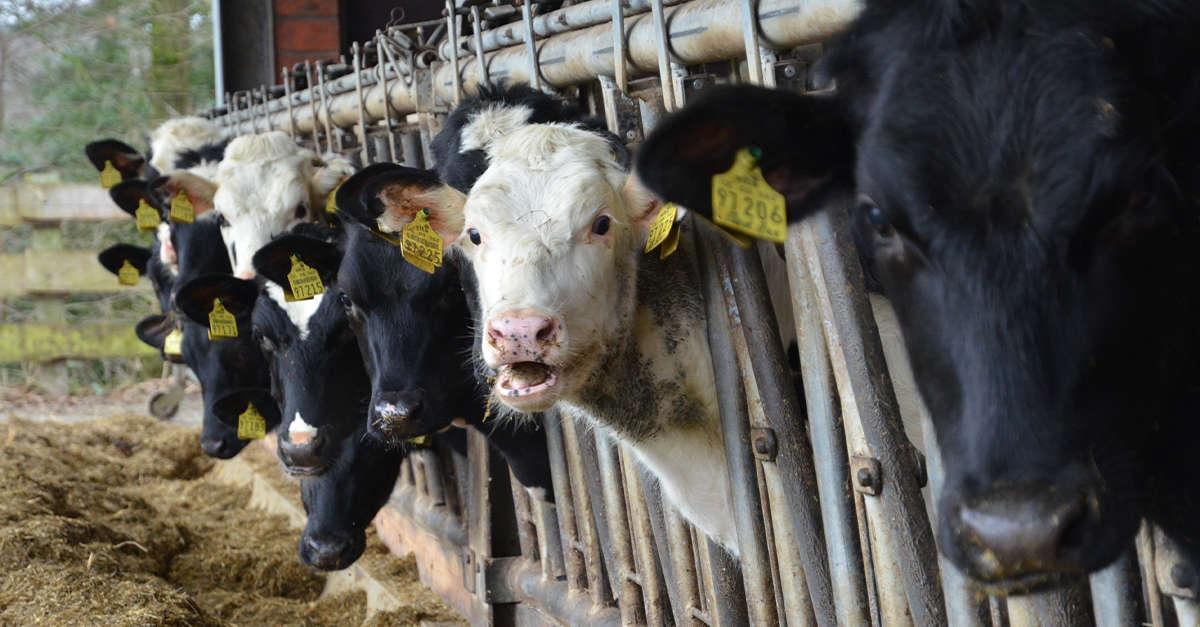 Fütterungskonzepte für Rinder und Kälber – AGRAVIS