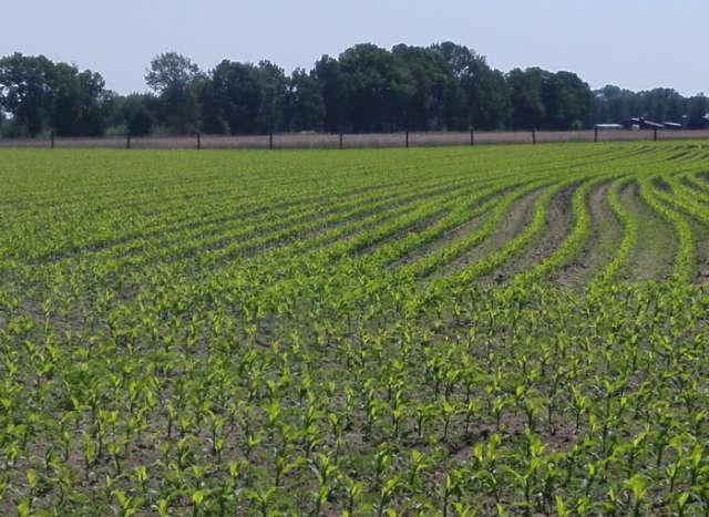 Maisanbau Feld