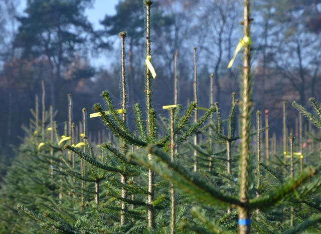 Relaunch, Teaser, Pflanzenbau, Sonderkulturen, Weihnachtsbaum, Spitze