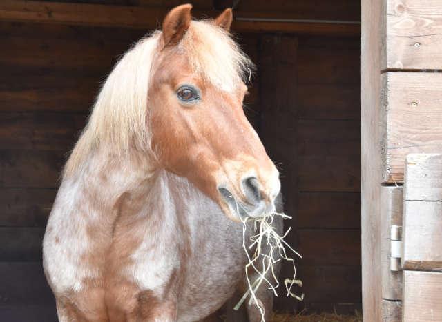 Bei Pony Nico kommt das mit RaicoSil Hay behandelte Heu gut an.
