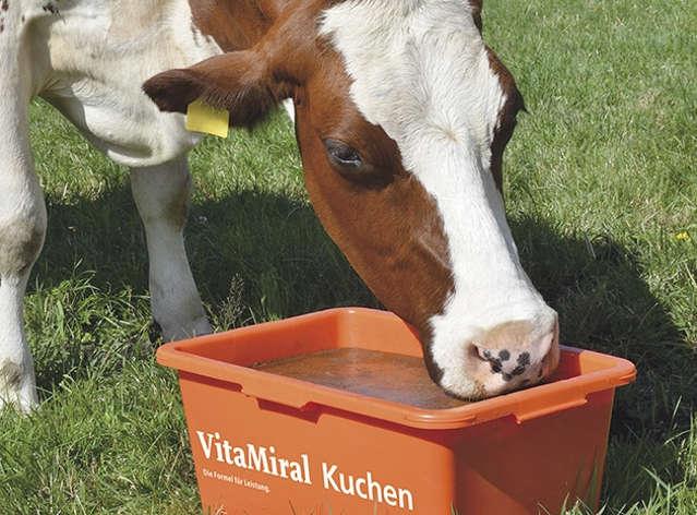 Kuh mit VitaMiral-Kuchen