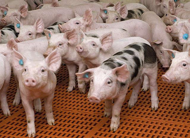 Relaunch Schweine, Header, Teaser