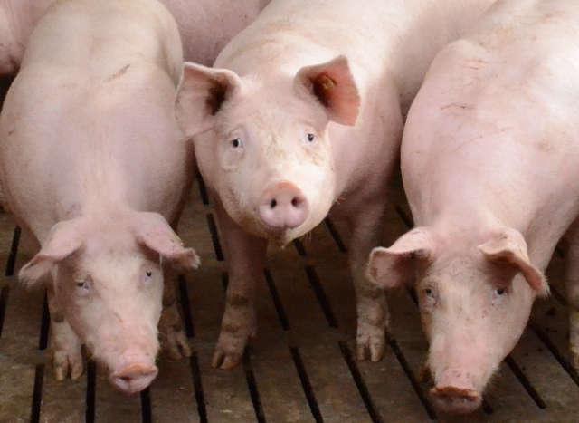 Sehr stark N- und P-reduzierte Fütterung Schweinemast, Header, 640 Teaser, 270 Teaser